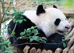Kai Kai (deslee74) Tags: yahoo google nikon singapore panda flickr kaikai d3s vision:mountain=0566 vision:outdoor=0762
