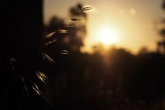 Glowing Grass (Joel Bramley) Tags: sunset grass silhouette glow seed glowing