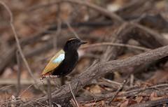 Rainbow Pitta (Pitta iris) (Gus McNab) Tags: iris rainbow pitta