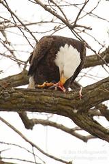 C7D_2170a_1200 (Obi-Wan-YJ) Tags: wild usa bird ice flying eagle eating wildlife baldeagle ia mississippiriver leclaire canon100400mm kenko14xteleconverter canon7d lockdam14