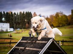 Agile in Oslo (RobertCross1 (off and on)) Tags: dog pet oslo norway goldenretriever norge europe olympus agility bailey frogner omd em5 englishcreamgoldenretriever 45mmf18mzuiko