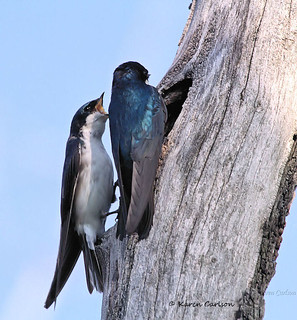 Shout of the Tree Swallow