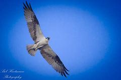 I see you (BobHartmannPhotography) Tags: nature birds unitedstates florida naturalworld verobeach 1365 bobhartmannphototography bobhartmanncom