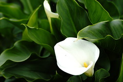 Calla lily (ddsnet) Tags: plant flower sony taiwan 99   callalily taoyuan  slt      singlelenstranslucent 851 99v