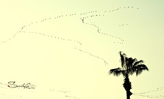 I am flying (Sulafa) Tags: travel sky tree birds fly immigration سفر شجرة سماء طيور هجرةالطيور birdsimmigration