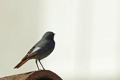 Oiseaux du jardin (Seix/Arige) (PierreG_09) Tags: jardin oiseau pyrnes pirineos faune arige phoenicurusochruros blackredstart seix colirrojotizn rougequeuenoir couserans passriformes muscicapids