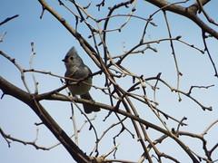 tufted titmouse, breckinridge park, richardson texas march 24, 2014 (gurdonark) Tags: park bird birds texas wildlife titmouse tufted breckinridge richardson