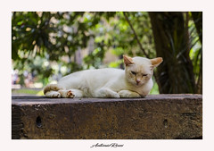 Gato Branco (anttoniorossi) Tags: gatobranco gatos cats whitecat animais felinos