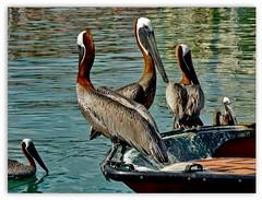 pelicans ... (miriam ulivi) Tags: miriamulivi panasonicdmctz60 pellicani mare riflessi barca pelicans sea reflections boat nature 7dwf