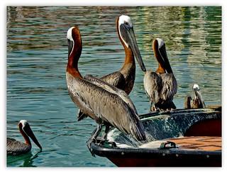 pelicans ...