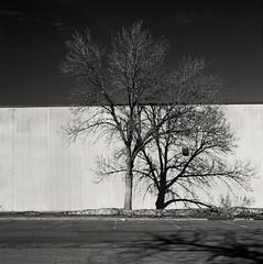 Bisected Tree. Minneapolis. February, 2017 Hasselblad_2278 (erlin1) Tags: across analog blackandwhite d76 hasselblad neopan100 minneapolis mn usa