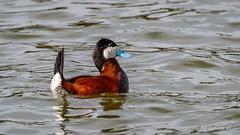 Ruddy Duck (Bob Gunderson) Tags: birds boathouse california divingducks ducks lakemerced locationofphoto northerncalifornia ruddyduck sanfrancisco stifftailedducks