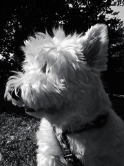 Westy. , Nikon camera, iso 160, 70mm. Nikkor. (classicphoto62 (Schopenhauer1962)) Tags: westhighlandterrier west highland terrier dog westy westie bw portrait nikon iso160 70mm nikkor