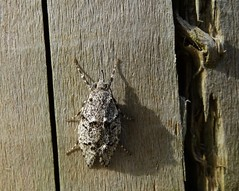 Give up!!!! (Diurnea fagella - female) (rockwolf) Tags: moth lepidoptera id insect eardingtonquarry shropshire sig shropshireinvertebrategroup rockwolf diurneafagella chimabachidae