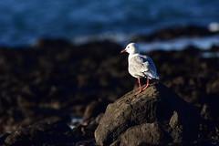 Silver Gull (Luke6876) Tags: silvergull gull bird animal wildlife australianwildlife rocks water