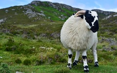 Sheep 30 (orientalizing) Tags: animals countydonegal desktop domesticates featured ireland mammals sheep ungulates