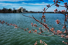 Cherry Blossoms at the Jefferson Memorial (` Toshio ') Tags: toshio washingtondc washington dc districtofcolumbia cherryblossoms tidalbasin jeffersonmemorial flowers blossoms trees cherryblossomfestival water lake clouds monument