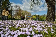 DSC_0432 (Me now0) Tags: europe park afternoon spring nikond5300 basiclens 1855mmf3556 closeup flowers софиябългарияевропа юженпарк пролет следобед цветя никонд5300 китовобектив близъкплан