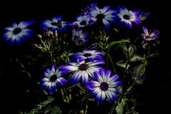 Fading to black (Pegthree) Tags: blue white flower flowers spring garden pretty beautiful nature petals petal lots loads plenty green black dark light