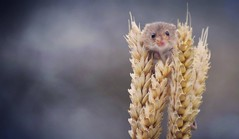 harvest mouse (lisheeny) Tags: harvest mouse rodent wildlife animal wheat
