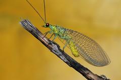 Lacewing (Rundstedt B. Rovillos) Tags: lacewing neuroptera insect insecta insekto insekten insecte insekt nikond300 nikkor1855mm nikonsb400 reverselensadapter diykfcflashdiffuser diyflashdiffuser kfcflashdiffuser kfcdiffuser kentuckyfriedchickenplasticbucketlid macrophotography macro reverselensmacroshoot onehandmacroshootmethod rundstedtbrovillos