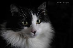 _MG_0036 Morgan (Dante Guazzo Giorgio) Tags: 2014 cumiana felini