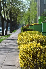 Spring in the town :) (green_lover) Tags: forsythia street town żyrardów poland spring shrub bush houses trees buildings sidewalk vanishingpoint