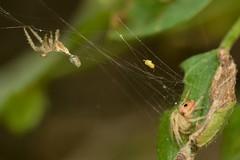 Me and my exuviae... (Treebeard) Tags: spider web orbweaverspider araneidae exuviae molt coastliveoak quercusagrifolia fagaceae sanmarcospass santabarbaracounty california
