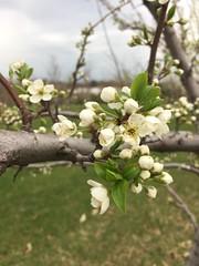 Shiro Japanese plums (msuanrc) Tags: fruit plums shirojapaneseplums fullbloom bloom shiroplums