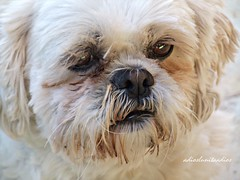 Pipo 031 (adioslunitaadios) Tags: perrito mascota animal airelibre mamífero pipo macro fujifilm cumpleañosrafa