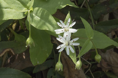 Stellaria media, Blue Spring Railroad Grade, White County, Tennessee (Chuck Sutherland) Tags: stellariamedia chickweed white wildflower flower bluespring railroadgrade whitecounty tennessee tn