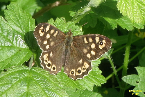 Speckled wood (RLs)