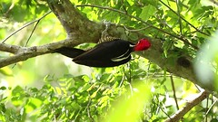 Crimson-crested Woodpecker (Campephilus melanoleucos) (Hamilton Images) Tags: crimsoncrestedwoodpecker campephilusmelanoleucos woodpecker bird feathers tropicalforest canopytower panama centralamerica canon 7dmarkii 500mm february 2017 hdvideo video img0560