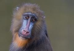 Mandrill (heribertfischer) Tags: zoo duisburg primaten mandrill nature animals