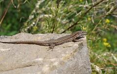Podarcis liolepis (J Carrasco (mundele)) Tags: valledevio pndeordesaymonteperdido huesca pirineos reptiles saurios lacertidae podarcis