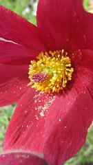 Pollen... (Orchids love rainwater) Tags: flower pollen april 2017 red sisterpensgarden explore pulsatilla pasqueflower