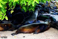 Rest (Mahmoud R Maheri) Tags: animal seal galapagos pacificocean ocean beach water rest ecuador sea seaside