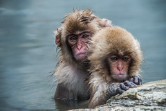 Nagano - Jigokudani - 22 (coopertje) Tags: japan nagano snowmonkey monkey jigokudanimonkeypark jigokudanijaenkoen sneeuw snow sneeuwmakaak macaque japanesemacaque cold onsen hottub hotspring water