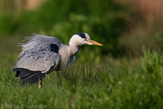 Grey Heron with ruffled feathers 8242(6D2)