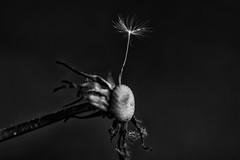 last wish (i_shoot_the_moment) Tags: seed macro bw blackandwhite wish old new