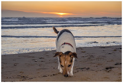 Tobys sunrise. (malcbawn) Tags: water jackrussell terrier beach sunrise northsea model toby dawn dog olympus0md10 outdoor flash roker snap malcbawnphotography