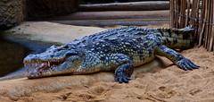 Gefräßig / Voracious (schreibtnix on 'n off) Tags: deutschland germany köln cologne zoo tiere animals reptilien reptiles nilkrokodil nilecrocodile crocodylusniloticus olympuse5 schreibtnix