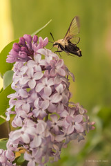 Hummingbird Moth (Back Road Photography (Kevin W. Jerrell)) Tags: moths lilac flowers insects bugs bushes nikond60 backyardphotography nature naturesbeauty lavender spring thingsthatfly macrolife