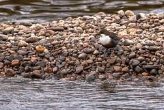 Dipper at breakfast (Barry Folan) Tags: bird birding birdwatching spey speyside dipper nature naturephotography prime primeshots pentax300mm 300mm wildlife badenoch river pentaxart pentaxk1