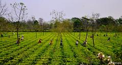 Lush (mala singh) Tags: tea garden green bengal india