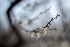 _DSC6100 (kymarto) Tags: bokeh bokehlicious depthoffield dof japan plumblossoms ume spring flowers flowerphotography nature naturephotography sony sonynex7 sonyphotography seasons