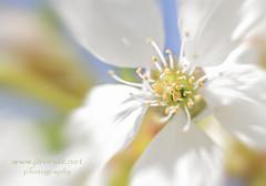 Juegos florales (javiruiz) Tags: juegosflorales flor macro color borau huesca pirineos primavera spring flower colors