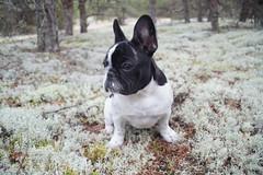 DSC03166 (Anastasia Neto) Tags: cutepuppies dog dogs dogphotography dogmodel cutepuppy dogphotographer petmodel puppies petphotography pets puppy pet petphotographer frenchie frenchies frenchbulldog frenchbulldogs funnydog funnydogs