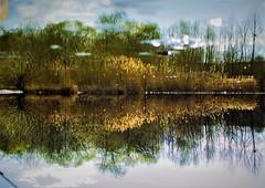 Haunted Swamp inside City (Gấu Nâu) Tags: haunted swamp illusion reeds reflextion mirror water europe romania pitesti city