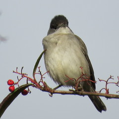 Photo of Blackcap with berries 1c